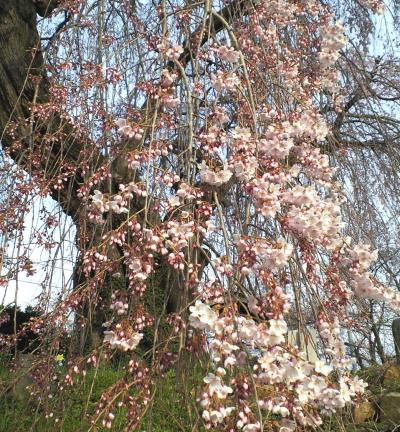 区民会館前のしだれ桜(25.4.14)