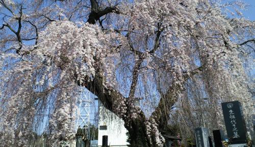 区民会館前のしだれ桜(25.4.15)