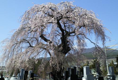 区民会館前のしだれと高社山(25.4.15)