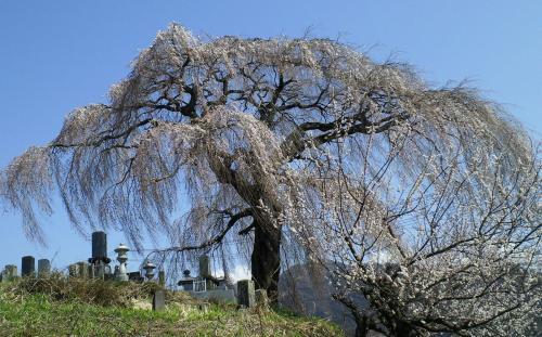 大久保のしだれ桜(25.4.15)