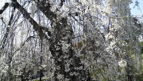大日庵のしだれ桜(25.4.15)