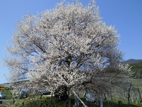 宇木のエドヒガン千歳桜(25.4.15)