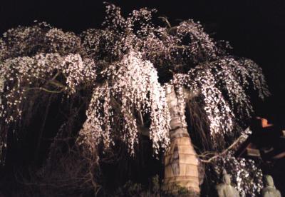 隆谷寺のしだれ桜ライトアップ(25.4.15)