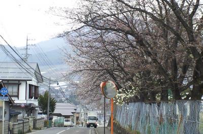 西小学校の桜たち(25.4.16)