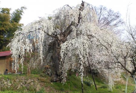 大日庵のしだれ桜(25.4.16)