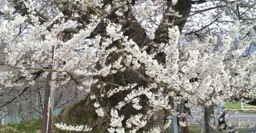 千歳桜の幹と枝(25.4.16)