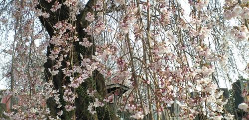 区民会館前のしだれ桜(25.4.16)