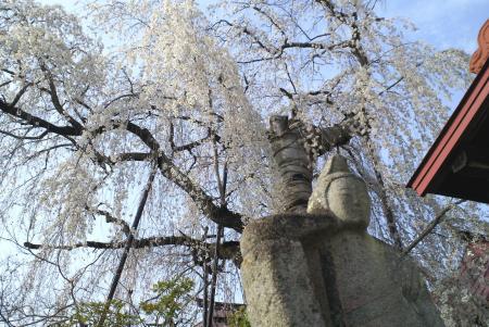隆谷寺のしだれ桜(25.4.17)