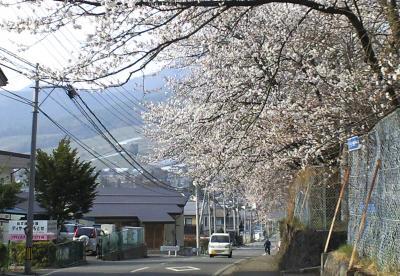 西小学校の桜たち(25.4.17)