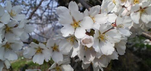 横倉の墓地の桜の花(25.4.17)