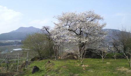 横倉の墓地の桜(25.4.17)