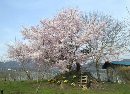 リンゴ畑の中の小彼岸桜(25.4.17)