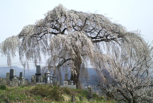 大久保のしだれ桜(25.4.17)