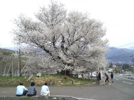千歳桜には大勢の人出(25.4.17)