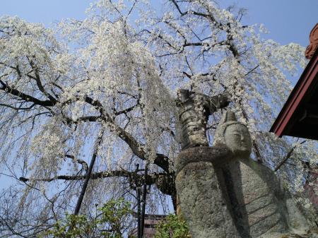 隆谷寺のしだれ桜(25.4.18)