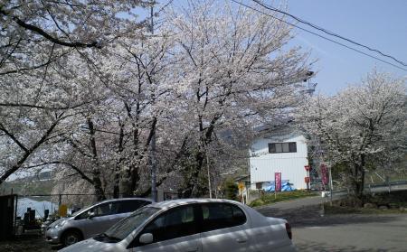 桜まつり会場(25.4.18)