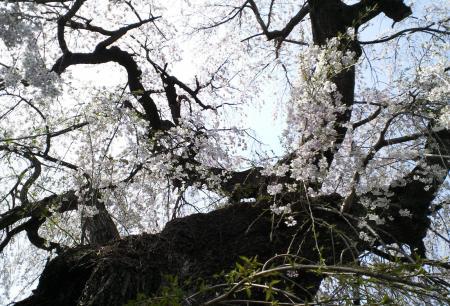 区民会館前のしだれ桜(25.4.18)