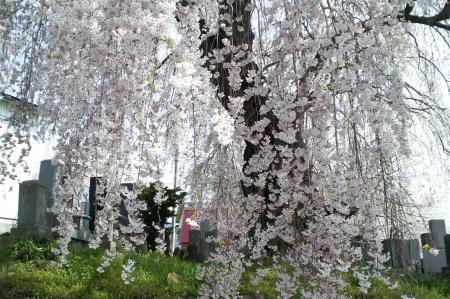 区民会館前のしだれ桜のカーテン(25.4.18)