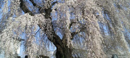 区民会館前のしだれ桜(25.4.19)