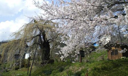 葉桜の大日庵のしだれ桜(25.4.19)