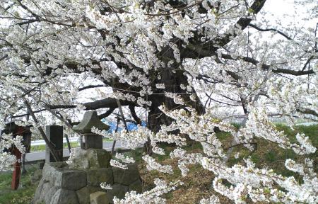 強風に揺れる千歳桜(25.4.19)
