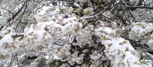 千歳桜の枝に雪(25.4.21)
