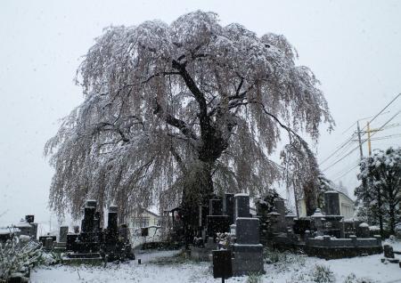 区民会館前のしだれ桜に降る雪(25.4.21)