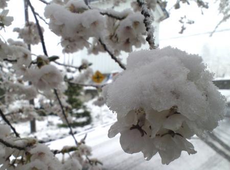 花に積もる雪(25.4.21)