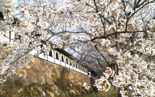 谷厳寺の千本桜(25.4.23)