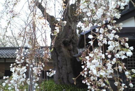 揺厳のしだれ桜(25.4.23)