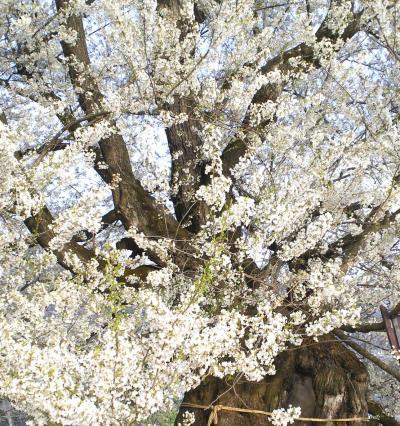 宇木のエドヒガン千歳桜(25.4.23)