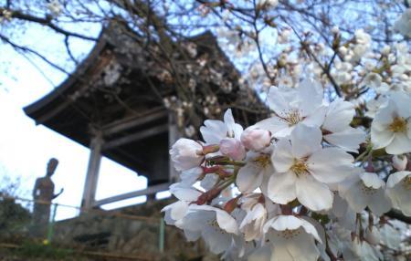 平和観音の桜(25.4.22)