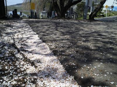 桜吹雪舞う区民会館前駐車場(25.4.25)