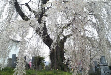 24日の区民会館前のしだれ桜(25.4.24)