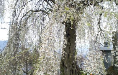 24日の大久保のしだれ桜(25.4.24)