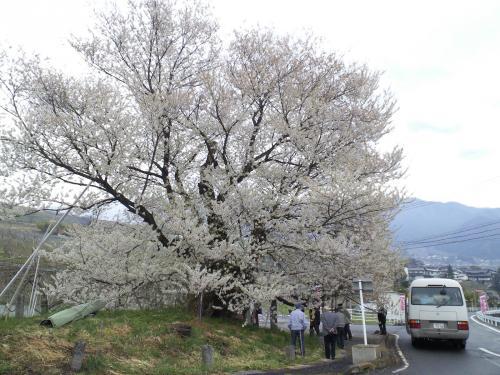 24日の千歳桜(25.4.24)