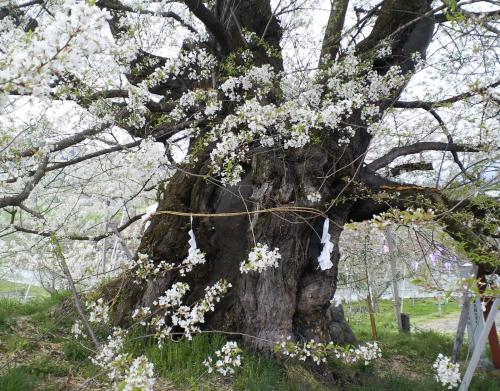 宇木のエドヒガン千歳桜(25.4.26)