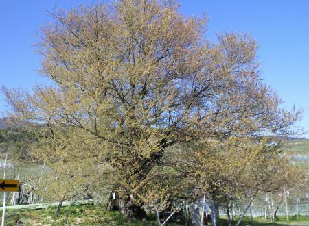 葉桜の千歳桜(25.4.28)
