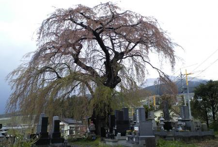 区民会館前のしだれ桜と雪の高社山(25.4.27)