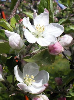 リンゴの花アップ(25.5.1)