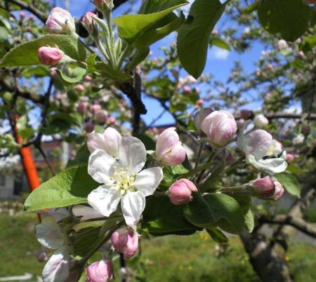 リンゴが開花し始め(25.5.1)