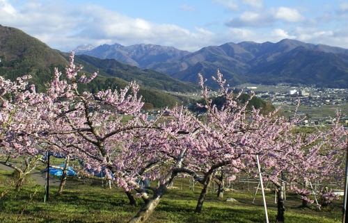 宇木の桃畑と志賀高原の山々(25.5.3)
