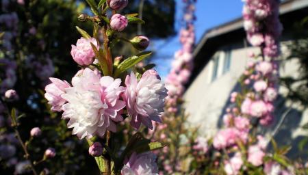 うちの庭桜(25.5.3)