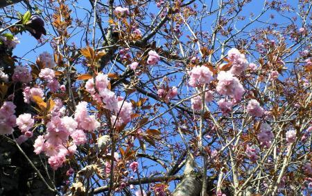 うちの前の八重桜(25.5.3)