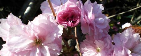 八重桜アップ(25.5.3)