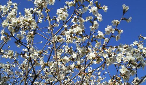 どんぐりの森公園の薄墨桜(25.5.3)