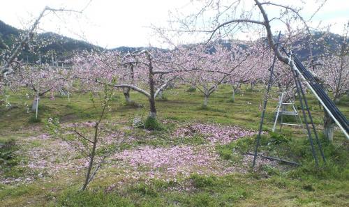 桃の摘花作業(25.5.4)