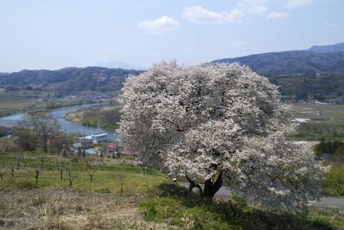 柳沢の一本桜(25.5.5)