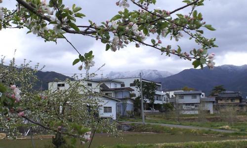 リンゴの花は咲いても志賀は今日も雪(25.5.7)