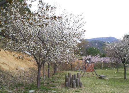 桜吹雪の公園(25.5.10)